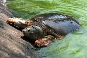 Thử nghiệm kỹ thuật mới tìm kiếm cá thể rùa Hoàn Kiếm ngoài tự nhiên