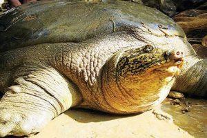 Bảo tồn rùa Hồ Gươm tại Việt Nam: Hy vọng mới cho loài rùa quý hiếm nhất trên thế giới